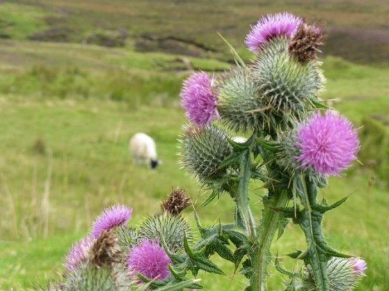 Sheep and Scottish Thistle on the Isle of Skye