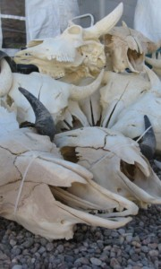 Buffalo skulls at Electric Park at the Tucson Gem Show