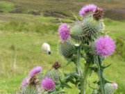 Sheep and Thistle in the Scottish Highlands