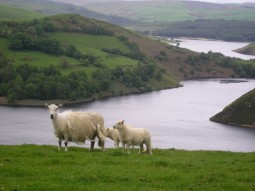 Sheep in the Welsh countryside