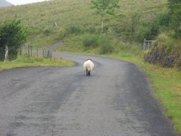 Ireland country road with sheep