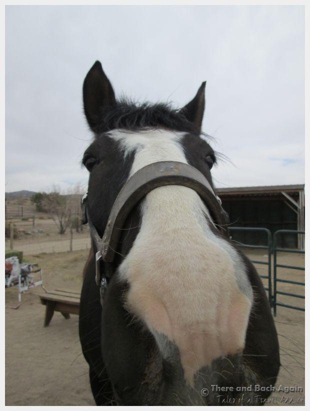 Santa Fe Broken Saddle Horse 4
